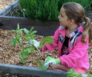 Harvesting Radishes